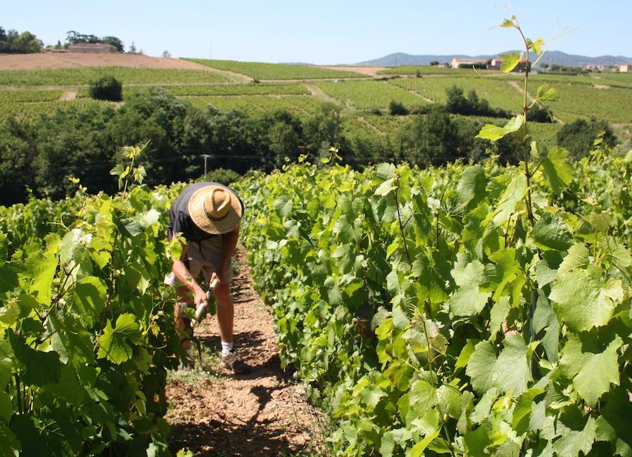 Les vignes - Dupré Goujon