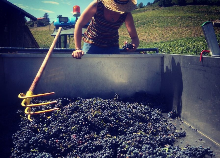 Récolte du raisin - Dupré Goujon